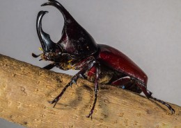 力量惊人的犀牛甲虫图片