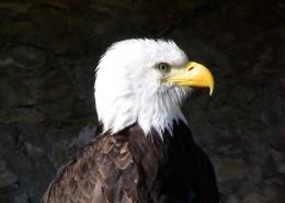 目光锐利的白头鹰图片(14张)