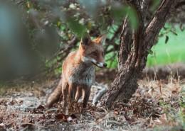 可爱的野生狐狸的图片(1