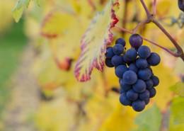 葡萄架上饱满的葡萄图片