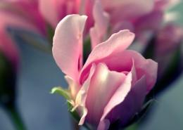 娇艳的粉色玫瑰花图片(13张)