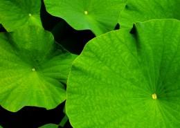 翠绿薄荷叶图片(12张)