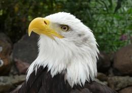 美国国鸟白头海雕头部图