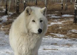 白色的野狼图片(10张)