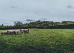 草原上的绵羊图片(16张)