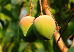 树枝上未成熟的芒果图片(13张)