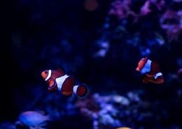 呆萌的小丑鱼图片(9张)