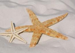 形态各异的海星图片(12