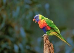 拥有鲜艳羽毛的鹦鹉图片(11张)