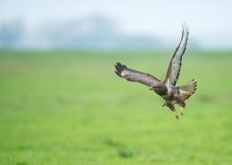 张开翅膀的老鹰图片(12张)