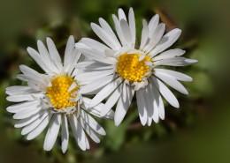 盛开的雏菊图片(11张)