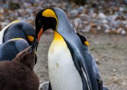 可爱的企鹅图片(14张)