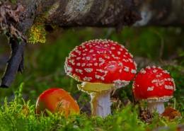 红色毒蝇伞毒蘑菇图片(12张)