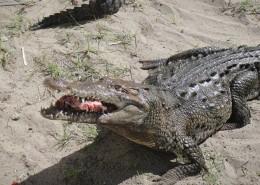 凶猛的鳄鱼图片(14张)