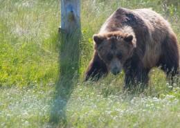 体型庞大的棕熊图片(13张)