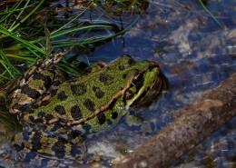 青蛙高清图片(12张)