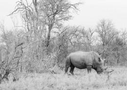 高大强健的犀牛图片(11张)