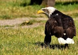 美国国鸟白头海雕图片(14张)