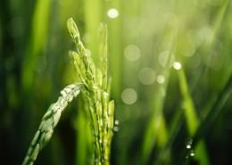 绿油油的小麦图片(14张)