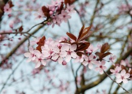 淡淡的粉红色梅花图片(10张)