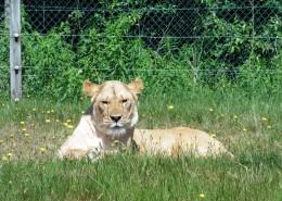 动物园里的母狮子图片(13张)