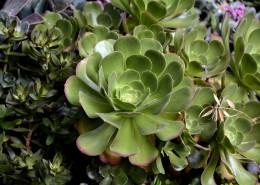 多肉植物特写图片(14张)