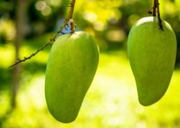 树枝上未成熟的芒果图片(14张)