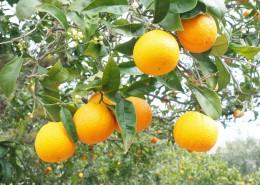树上挂着的橙子图片(12张)