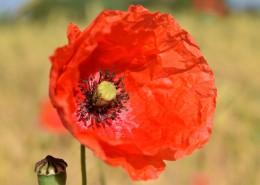 鲜红的罂粟花图片(13张)