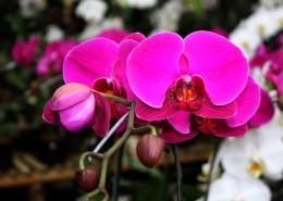 粉红色的蝴蝶兰图片(10张)