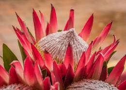 南非普罗梯亚木花图片(1