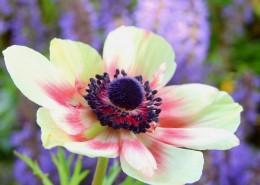 欧洲银莲花图片(11张)