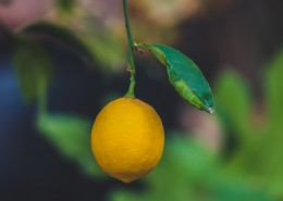 挂在树上的柠檬图片(10张)