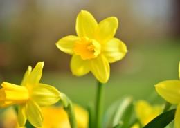 黄色水仙花图片(13张)