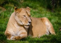 趴在草地上的母狮子图片(13张)