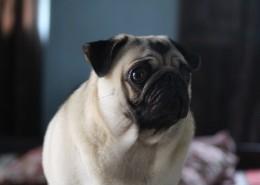 可爱的沙皮狗图片(10张)