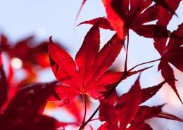 秋季火红枫叶图片(14张)