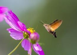 四不像的蜂鸟鹰蛾图片(11张)