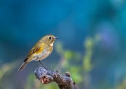红胁蓝尾鸲鸟类图片(8张)