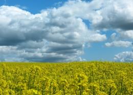 一片金黄色的油菜花田图片(15张)