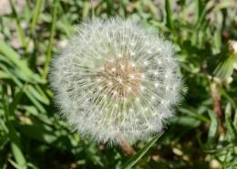 毛茸茸的蒲公英图片(14张)