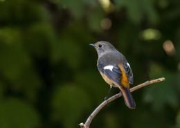 北红尾鸲鸟类图片(14张)