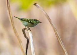 黄眉柳莺鸟类图片(11张)