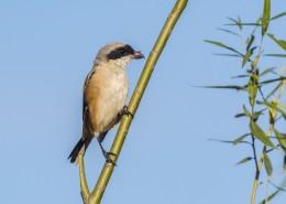 棕背伯劳鸟类图片(9张)