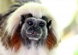 棉花顶面绢毛猴图片(9张)