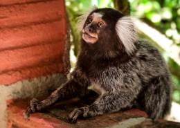 白耳狨猴图片(10张)