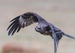 黑耳鸢鸟类图片(8张)