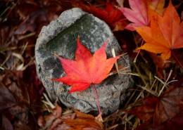 深红的枫叶图片(10张)
