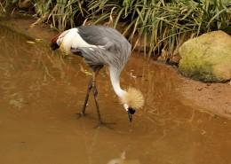 灰色丹顶鹤图片(16张)