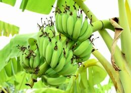 未成熟的绿色香蕉图片(12张)